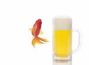 生ビールと金魚の写真素材 [FYI04153282]