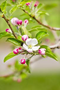 林檎の花の写真素材 [FYI04153306]