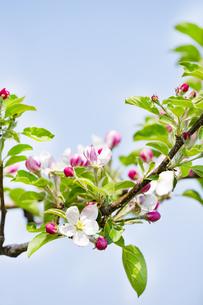 林檎の花の写真素材 [FYI04153308]