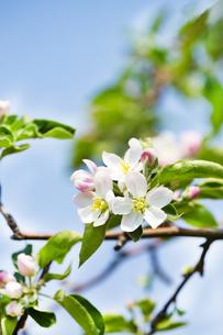 林檎の花の写真素材 [FYI04153309]