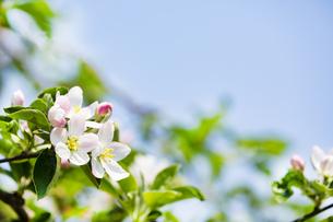 林檎の花の写真素材 [FYI04153312]