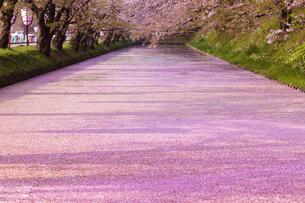 弘前公園  花筏(はないかだ)の写真素材 [FYI04153327]