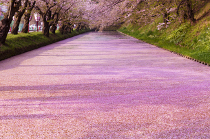 弘前公園  花筏(はないかだ)の写真素材 [FYI04153329]