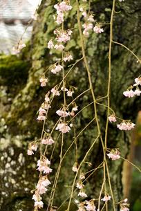 枝垂れ桜の写真素材 [FYI04153556]