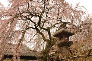しだれ桜の写真素材 [FYI04153565]