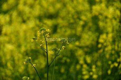 菜の花畑の写真素材 [FYI04153580]