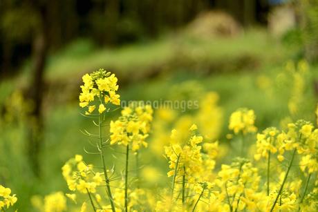 菜の花畑の写真素材 [FYI04153587]