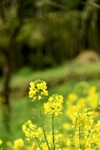 菜の花畑の写真素材 [FYI04153592]