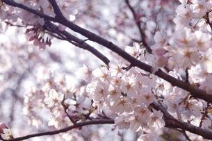 さくらの花とつぼみの写真素材 [FYI04153999]
