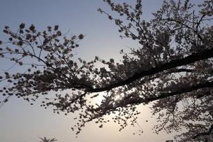 桜木漏れ日の写真素材 [FYI04154350]