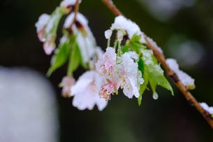 雪見桜14の写真素材 [FYI04157616]