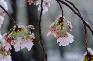 雪見桜13の写真素材 [FYI04157617]