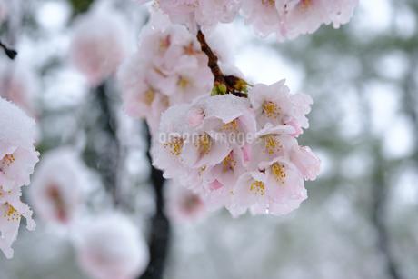 雪見桜12の写真素材 [FYI04157618]