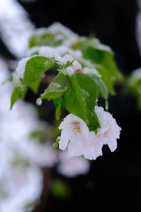 雪見桜10の写真素材 [FYI04157619]