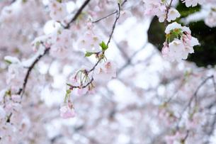 雪見桜9の写真素材 [FYI04157621]