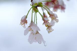 雪見桜8の写真素材 [FYI04157622]