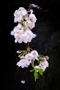 雪見桜7の写真素材 [FYI04157623]