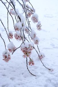 雪見桜6の写真素材 [FYI04157624]