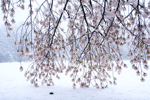 雪見桜5の写真素材 [FYI04157625]