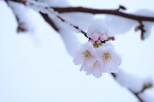雪見桜4の写真素材 [FYI04157626]
