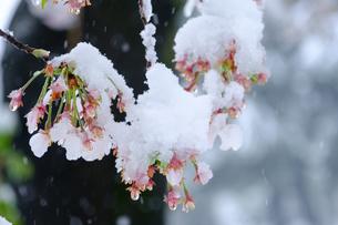 雪見桜1の写真素材 [FYI04157630]