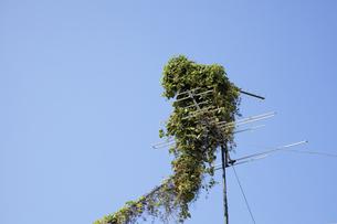 TVアンテナに巻き付く植物の写真素材 [FYI04158608]