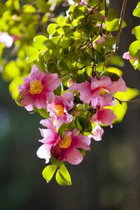 山茶花の写真素材 [FYI04159095]