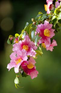 山茶花の写真素材 [FYI04159097]