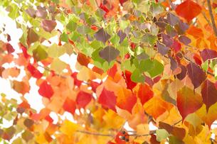ナンキンハゼの紅葉の写真素材 [FYI04159197]