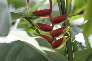 ヘリコニア ロストラータの花の写真素材 [FYI04161917]
