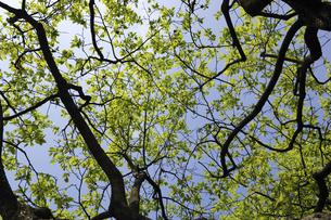 カキノキの若葉と新緑の写真素材 [FYI04161954]
