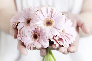 両手いっぱいのピンクのガーベラの写真素材 [FYI04162343]