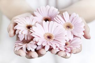 両手いっぱいのピンクのガーベラの写真素材 [FYI04162344]