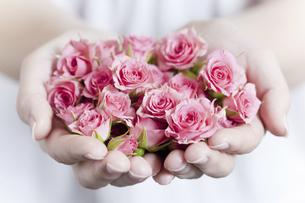 両手いっぱいのピンクのバラの写真素材 [FYI04162345]
