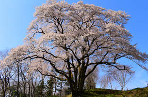 鉢形城の桜 氏邦桜の写真素材 [FYI04164425]