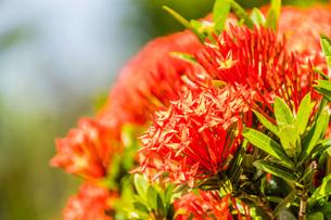 道端に咲く赤い花の写真素材 [FYI04164532]