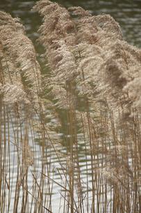 池の畔に生えるすすきの写真素材 [FYI04165086]