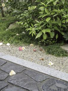 庭に落ちた寒椿の花びらの写真素材 [FYI04165567]