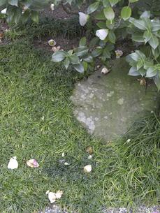 庭に落ちた寒椿の花びらの写真素材 [FYI04165574]