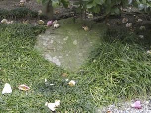 庭に落ちた寒椿の花びらの写真素材 [FYI04165575]