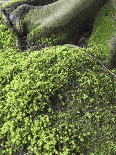 樹木の根っこに生える水苔の写真素材 [FYI04165750]