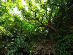 石垣島のジャングルの写真素材 [FYI04166759]