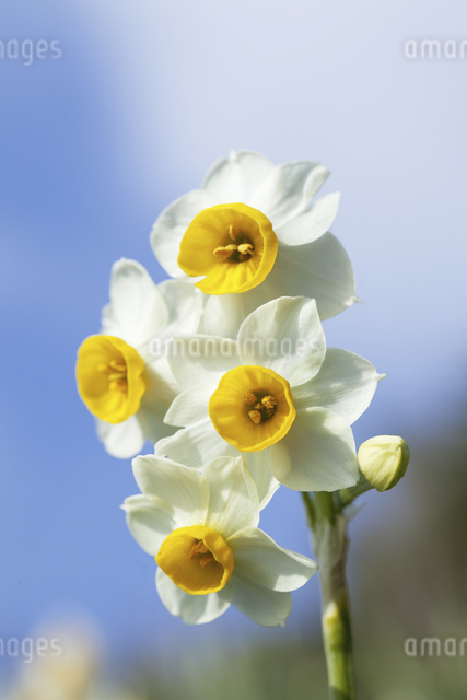屋外に咲くスイセンのアップの写真素材 [FYI04171274]