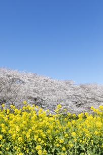 菜の花と満開の桜の写真素材 [FYI04171838]