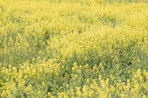 菜の花の写真素材 [FYI04171921]