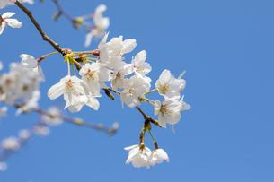 桜と青空の写真素材 [FYI04172102]