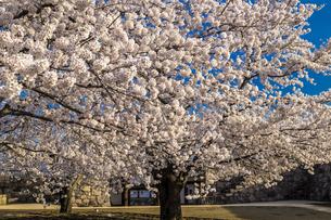 信州 長野県長野市松代 松代城(海津城)の桜の写真素材 [FYI04172161]
