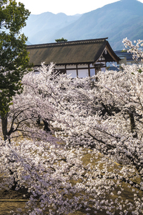 信州 長野県長野市松代 松代城(海津城)の桜の写真素材 [FYI04172206]