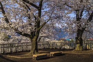 信州 長野県長野市松代 松代城(海津城)の桜の写真素材 [FYI04172216]