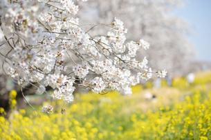 土手に咲く桜の花と菜の花の風景の写真素材 [FYI04172266]